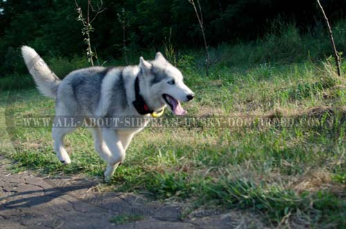 Lifetime Nylon Dog Tool for Siberian Husky