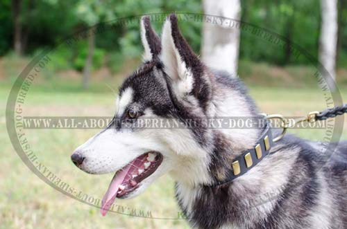 Leather decorated collar with brass plates for Siberian Husky