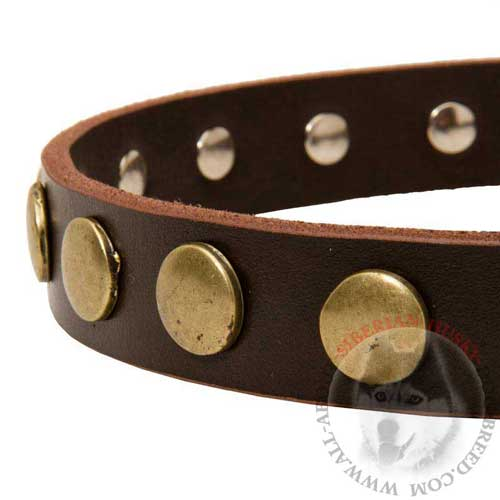 Brass Circles Riveted to Designer Siberian Husky Collar