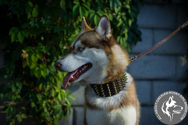 Designer Leather Siberian Husky Collar with Hand Set Spikes