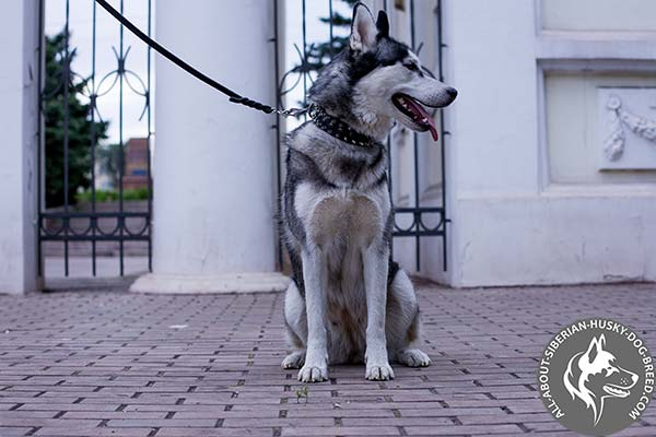Extravagant Leather Siberian Husky Collar for Fashionable Walking