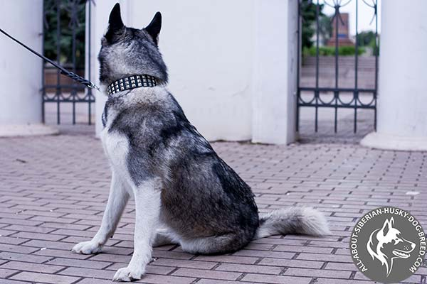 Leather Siberian Husky Collar with Proportional Shiny Pyramids