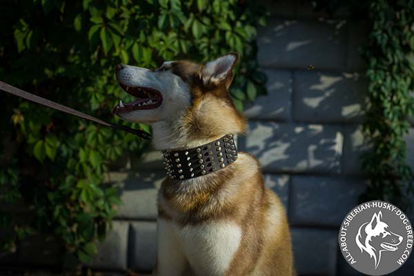 Leather Siberian Husky Collar with Silvery Spikes and Cones Set in Columns