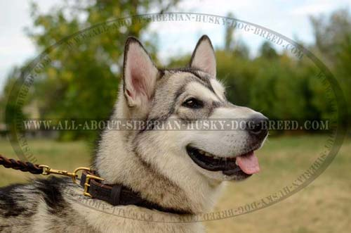 Leather Siberian Husky collar with reliable brass fittings