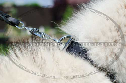 Leather Siberian Husky collar equipped with nickel plated hardware