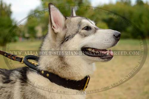 2 ply leather Siberian Husky collar with reliable and strong handle