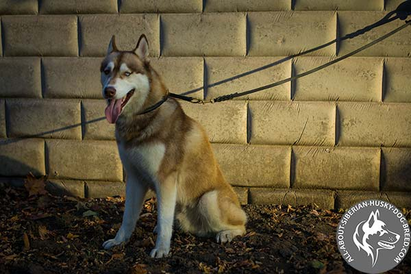 Durable Leather Siberian Husky Choke Collar