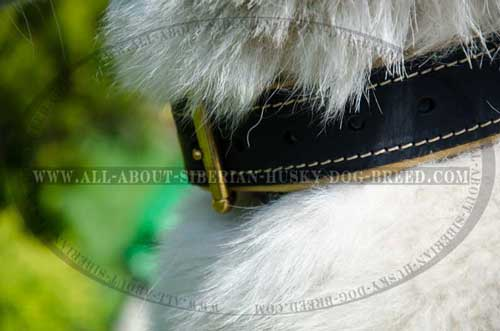 Comfortable leather collar for Siberian Husky