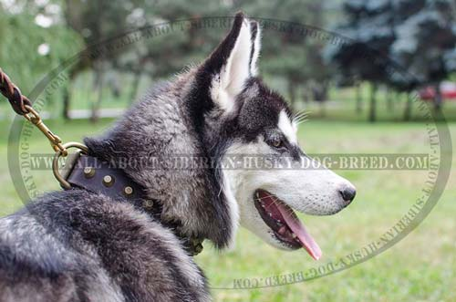Fully Leather Canine Collar with Pyramids for   Siberian Husky