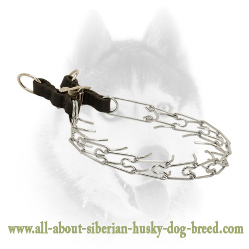 Siberian Husky Pinch Collar with Click Lock Buckle