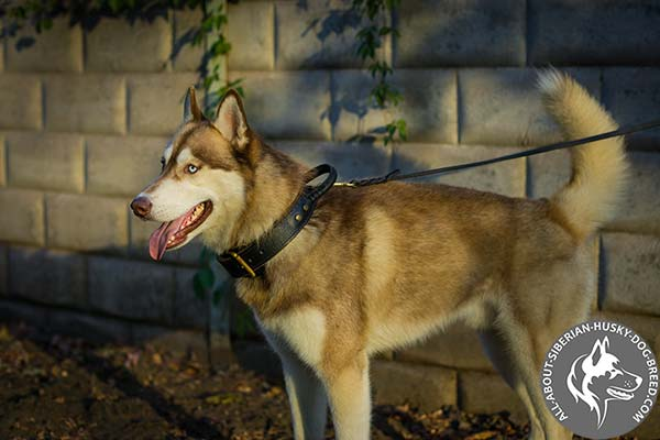 Agitation Training Siberian Husky Collar of 2 Ply Leather