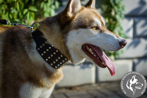 Wide Siberian Husky Collar with 5 Rows of Silver-like Cones