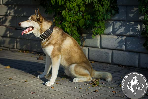 Extra Wide Spiked and Studded Leather Collar for Siberian Husky