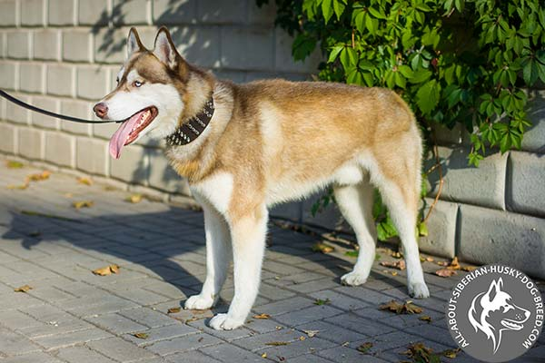 Wide Siberian Husky Collar for Best Walking