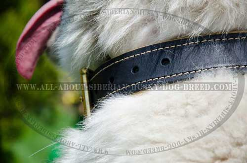 Extra wide leather collar with double stitching for Siberian Husky