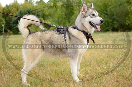 Felt Padded Leather Siberian Husky Harness Super Comfortable