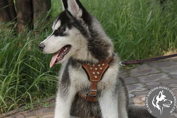Brown Leather Siberian Husky  Harness Adorned with Stylish Cones