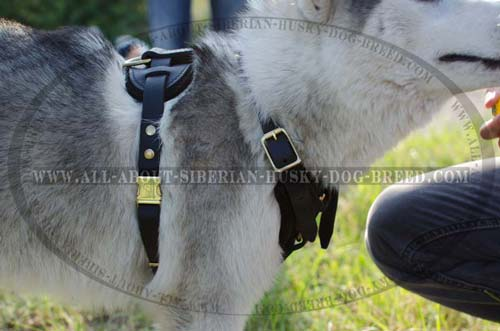 Easy wearing stylish harness for your Siberian Husky