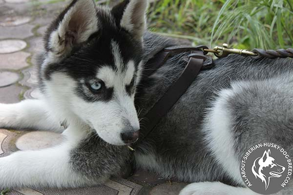 Well-fitted Leather Siberian Husky Harness for Various Activities