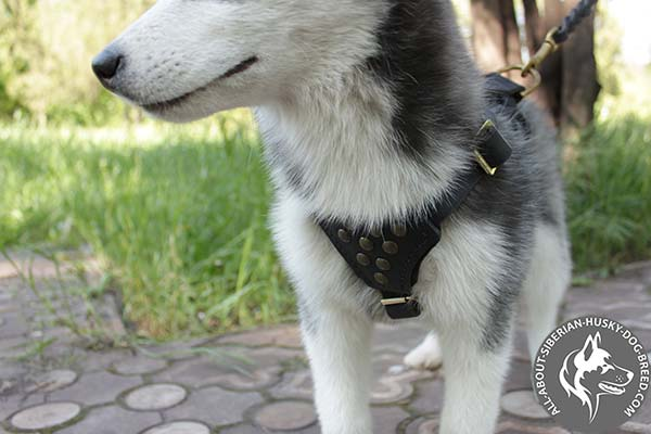 Gorgeous Leather Siberian Husky Harness Adorned with Half Balls