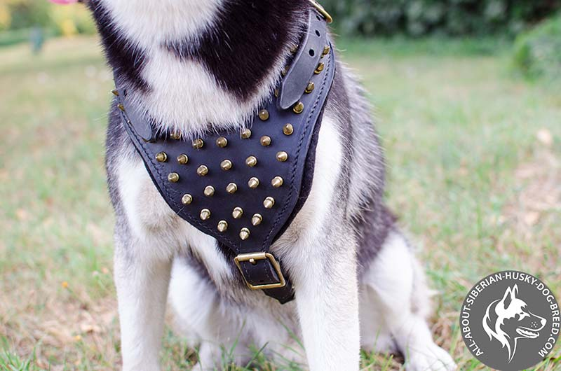 Padded Siberian Husky Harness with Shiny Brass Spikes
