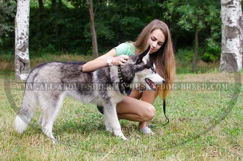 Marvelous Leather Siberian Husky Article with Studded Exterior