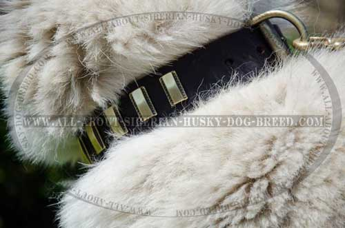 Siberian Husky collar with polished edges