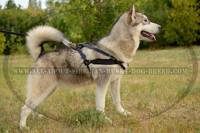 Multi Task Leather Pulling Harness For Siberian Husky H5