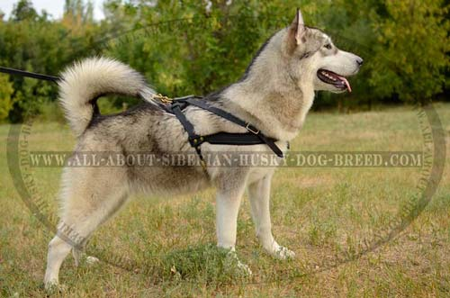 Comfortable leather harness for Siberian Husky