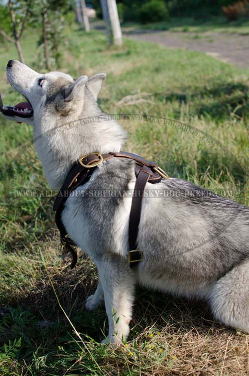 Extra protective leather harness for Siberian Husky