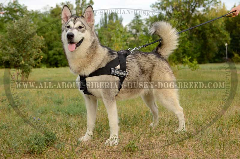 Nylon Harness For Siberian Husky With Id Patches H17 1041 Nylon