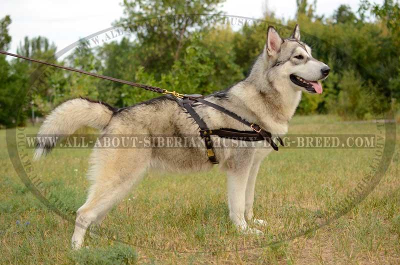 Image Result For Siberian Husky Harness