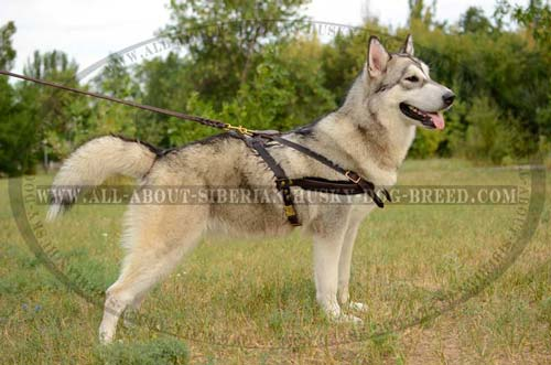 Exclusive design leather Siberian Husky harness