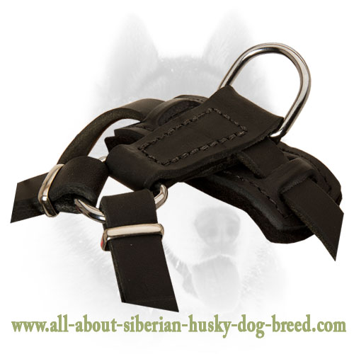 Leather Harness with handle to walk Siberian Husky puppy