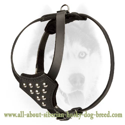 Leather Harness with studs to walk Siberian Husky puppy