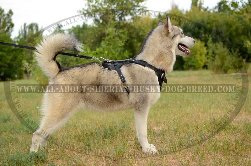 Training Leather Siberian Husky Harness With D Ring H1