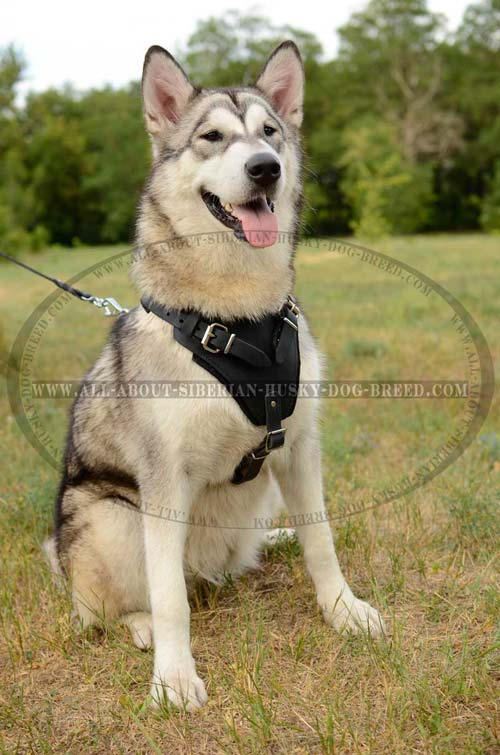Best value leather harness for Siberian Husky