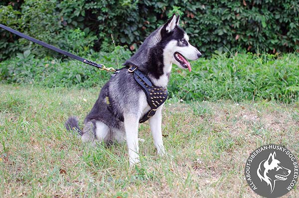 Safe and Comfy Spiked Leather Siberian Husky Harness