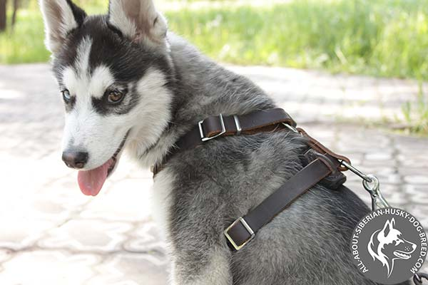 2 Way Adjustable Leather Siberian Husky Harness with Wide Straps