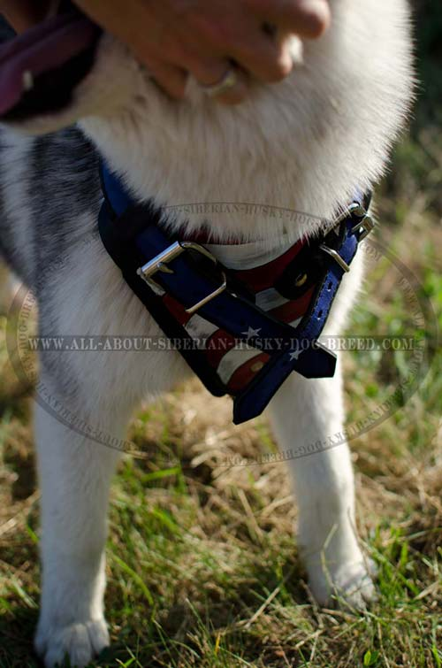 Exclusive design Siberian Husky leather harness
