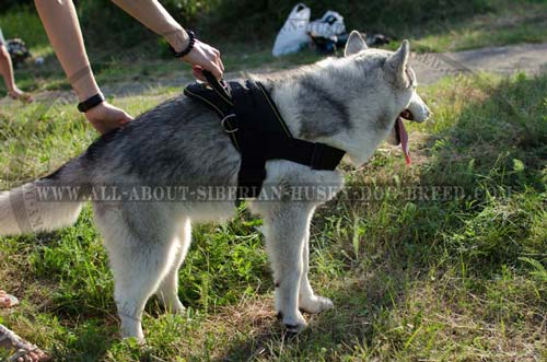 Nylon Siberian Husky harness with quick release buckle