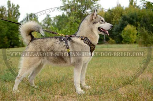 Leather Fashion Dog Harness for Siberian Husky Walking
