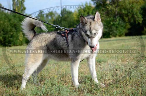 Leather Exclusive Siberian Husky Harness for Protection