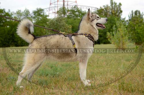 Studded Leather Siberian Husky Harness for Walking in Style