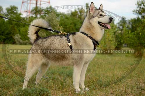 Leather Tracking Dog Harness for Siberian Husky's Busy Life
