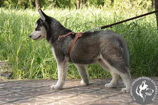 Siberian Husky leather leash with duly riveted handle for improved control