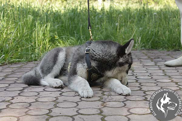 Siberian Husky leather leash of high quality with brass plated hardware for quality control