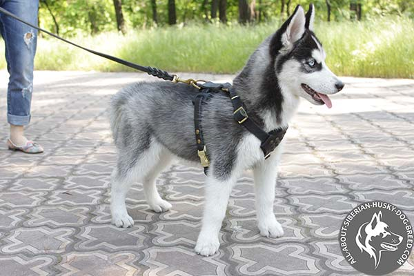 Siberian Husky leather leash of high quality brass plated hardware for walking