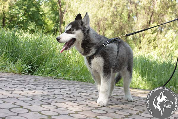 Siberian Husky leather leash with strong handle for improved control