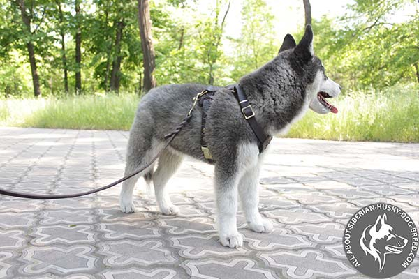 Siberian Husky leather leash of braided design with brass plated hardware for daily activity
